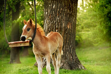 A Small Foal On A Green Meadow Near A Simple Swing On A Tree.