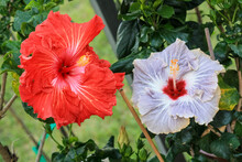 Closeup Of A Hibiscus Flower Head.