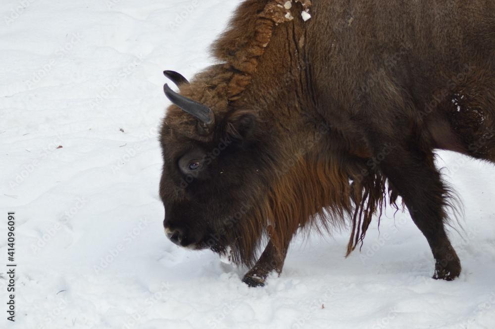 Fototapeta Żubry zimą