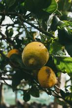 Limones Amarillos En El árbol Vista Desde Abajo