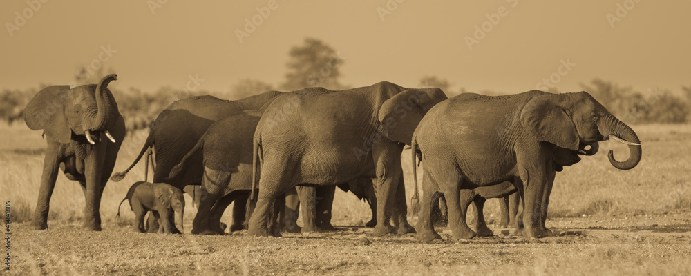 Fototapeta African Elephants group sepia