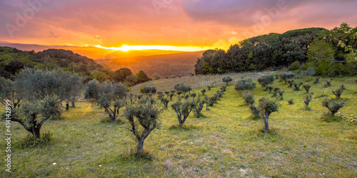 Fototapeta premium Sunset over olive grove