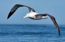 Albatros Hurleur En Vol. Diomedea Exulans. Atlantique Sud. Espèce Vulnérable