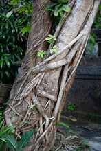 Trunk Of A Tropical Tree Entwined With Vines