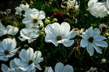 Flores Blancas Y Amarillas Sobre La Hierba De Un Jardín