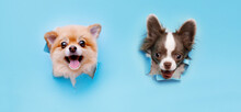 Funny Smiling Dogs With Beautiful Big Eyes On Trendy Blue Background. Lovely Puppy Of Pomeranian Spitz And Chihuahua Climbs Out Of Hole In Colored Background. Free Space For Text.