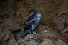 Beautiful Young Cormorant Close-up. Bird Sit On The Rock