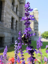 A Bee On A Mealy Blue Sage Flower Next To The Parliament Buildings, Victoria, Vancouver Island, Canada, August
