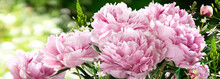 Bouquet Of Hot Pink Peonies Closeup On A Blurred Green Background
