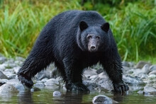 Canada, British Columbia. Black Bear Searches For Fish At Rivers Edge.