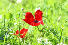 Poppy Anemone Blooms In February In A City Park In Israel