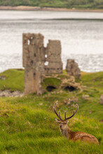 Ardvreck Castle Stag