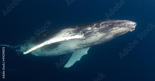 Canvas Print humpback calf