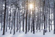 Picturesque View Of Beautiful Forest Covered With Snow