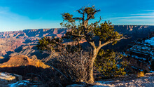 Pinyon Pine And Inner Canyon On Shoshone Point From  The South Rim, Grand Canyon National Park, Arizona, USA