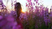 View Back Of Young Brunette Woman Walks Along Pink Field Among Florets Of Willow Tea, She Touch Flowers Blooming Sally.Girl In Tall Stems Of Fireweed On Bright Sunny Evening At Sunset.