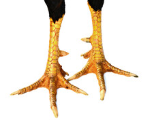 Fresh Chicken Feet Isolated On The White Background.