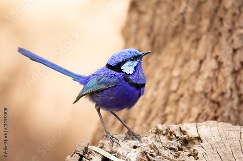 Splendid Fairy Wren Fototapeta