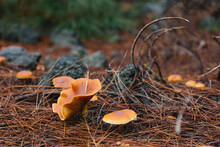 Yellow False Chanterelle Mushroom On The Pine Forest Floor, Selective Focus.