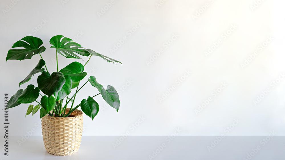 Fototapeta Monstera plant indoor on white wall background