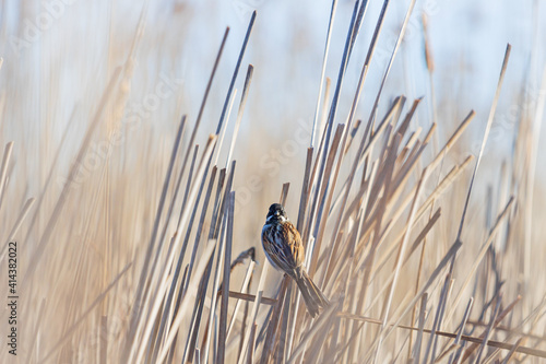 Tableau sur Toile reed bunting among dry stalks