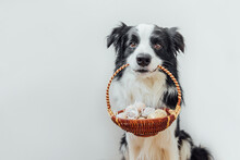 Happy Easter Concept. Preparation For Holiday. Cute Puppy Dog Border Collie Holding Basket With Easter Colorful Eggs In Mouth Isolated On White Background. Spring Greeting Card.