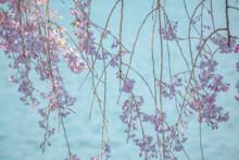 水面の上で揺れる枝垂桜