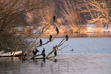 Black Cormorant Birds On The Branches Of A Tree Near The Lake