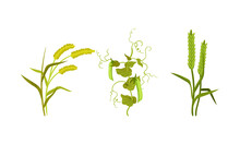 Cereal And Legume Plants With Hanging Pods And Grain Vector Set