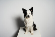 Black And White Dog With Different Colored Eyes On White Box
