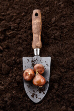 Planting Tulip Bulbs In Soil With Garden Hand Shovel, Close Up View