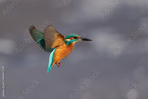 Fototapeta Common kingfisher (Alcedo atthis)