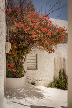 Colorful Red Bougainvillea Between White Plastered Walls Under A Blue Sky In A Greek Town On Kyhtira