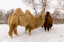 A Pair Of Wild Camels Among The Trees In The Winter Snowy Forest. Environmental Protection Concept.