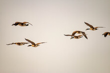 Canadian Geese Migrate In The Sky. Arrow Formation