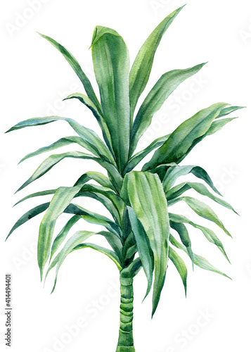 Palm tree, dracaena on isolated white background, watercolor botanical illustration Wall mural