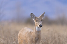 White-tailed Deer In Soft Morning Light At Ninepipe National Wildlife Refuge In Montana
