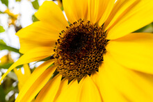 Yellow Sunflower Blooming In The Evening