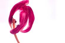 Vertrocknete Tulpe Pink Weiß