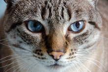 Closeup On Grey Tabby Cat Face With Blue Eyes