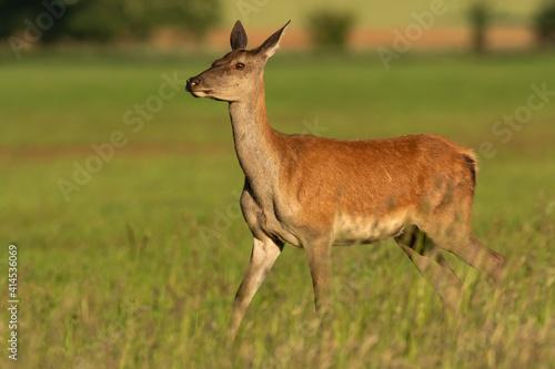 Fotografia, Obraz Female red deer, cervus elaphus, walking on a grassy hay field on a sunny day in summer nature