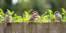 Sparrows, House Sparrows In A Garden, UK