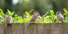 Sparrows, House Sparrows In A Garden, UK