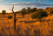 Camelthorn Trees In African Sunrise