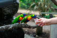 Two Rainbow Lorikeets Parrot Eating From A Cups Helding By Male Hands In Contact Zoo. Visiting Safari Park, Family Time. Selective Focus. Copy Space.