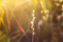 Yellow Dry Tiny Spike  Golden Field With Bokeh And Backlit On Background. Spikelet In The Rays Of The Setting Sun A Closeup Shot Of An Isolated Branch Of Wheat On A Blurred Background Selective Focus