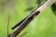 Velvet Ant (Ephutomorpha Pacificatrix) On Tree, South Australia