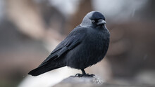 Jackdaw (Corvus Monedula) Perched On A Branch