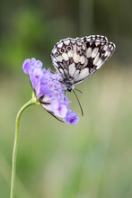 Melanargia Galathea, Marbled White Butterfly On Scabiosa Columbaria, Pincushion Flower From Lower Saxony, Germany