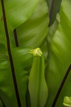 Broad Leaf Fern, New Leaf Unfurling, New Growth Green With A Black Spine.